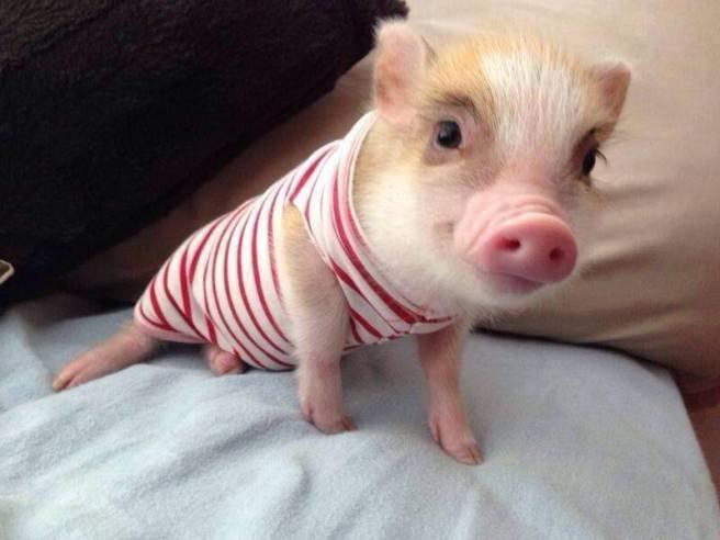 PIGS DESERVE LOVIN', NOT THE OVEN